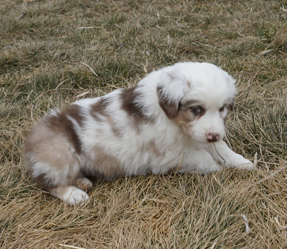 Puppies - Mountain Wrangler Aussies Australian Shepherd Puppies